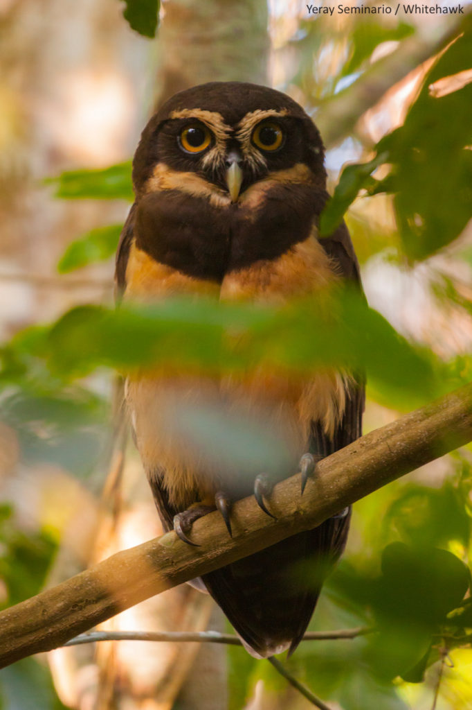 Spectacled Owl, the largest owl species in Panama