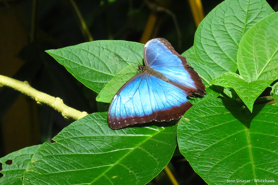 Common Morpho Panama Nature Tour Whitehawk