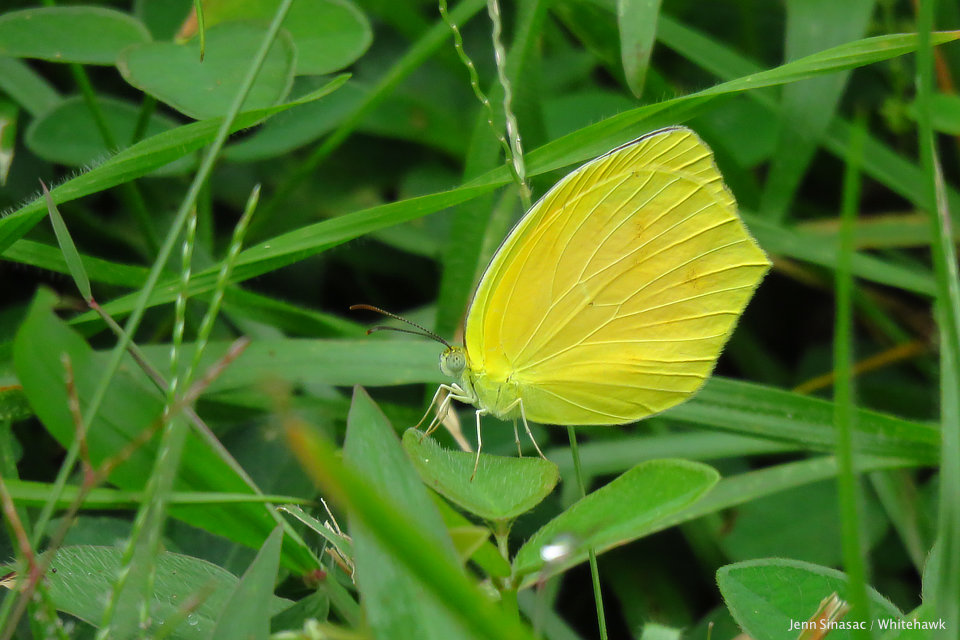 Tailed Orange Butterfly Panama Whitehawk